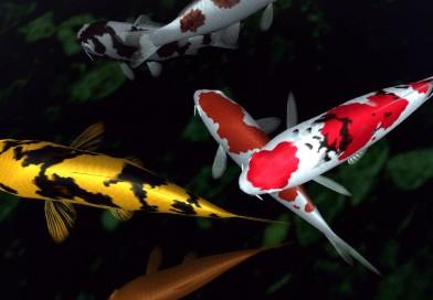 Fish and Koi
